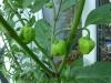 03-Balcony_harvest-Trinidad_moruga_scorpion