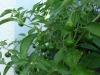 04-Balcony_harvest-Aji_cereza_peru