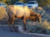 05-Grand-Canyon-Elk