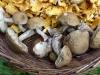 03-Mushroom_hunting-Birkenpilz
