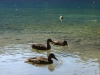06-plitvice-ducks