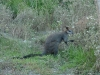 05-blanket-bay-wallaby