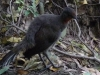 05-superb-lyrebird
