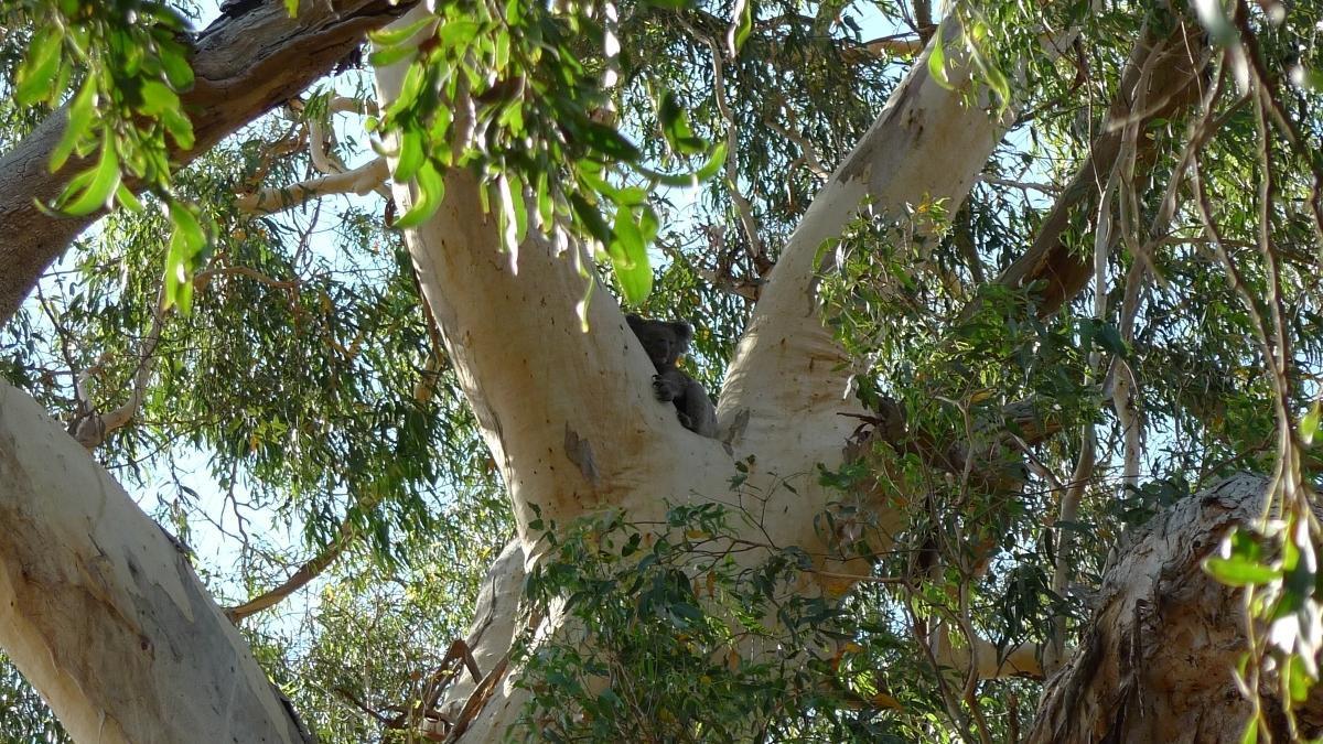 03-budj-bim-koala