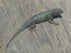 05-Crystal-Cove-State-Park-Lizard