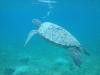 13-derawan-snorkeling-turtle