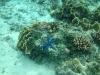 18-derawan-snorkeling-blue-sea-star