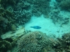 21-derawan-snorkeling-fish