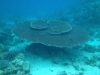 22-derawan-snorkeling-coral-table
