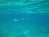26-derawan-snorkeling-barracuda