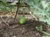 04-growing-watermelon