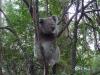 11-gow-koala_visit