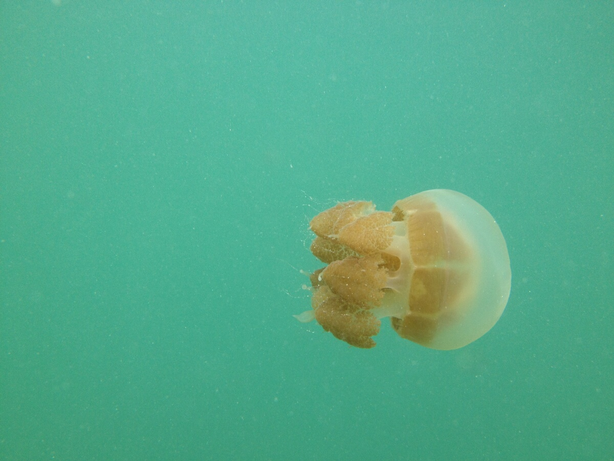 Swimming with jelly fish on kakaban eat code see for What do jelly fish eat