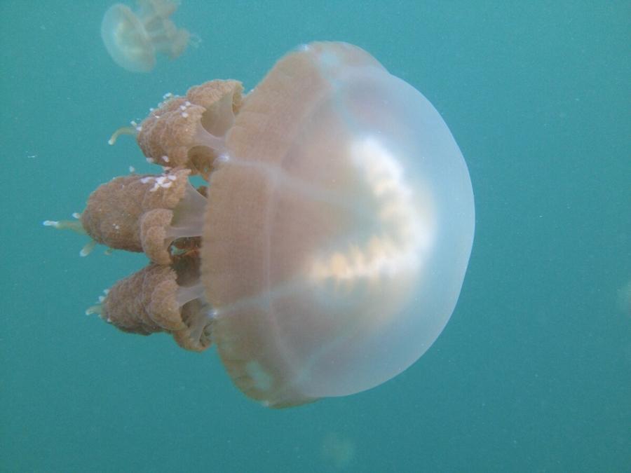 03-kakaban-jellyfish