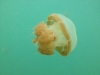 06-kakaban-jellyfish