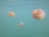 11-kakaban-jellyfish