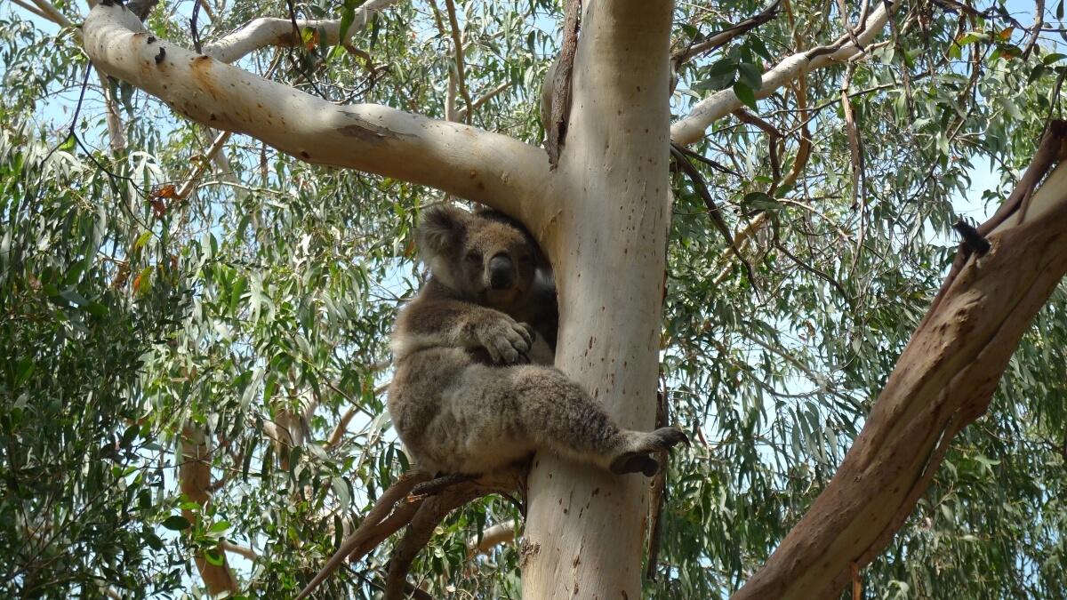 Koalas At Kennett River