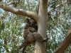 02-kennett-river-koalas