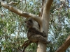03-kennett-river-koalas