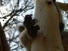 04-kennett-river-koala_paw