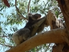 05-kennett-river-koalas