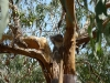 07-kennett-river-koalas