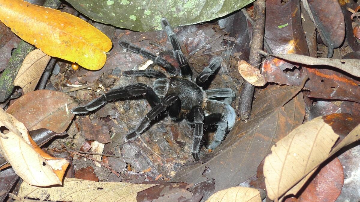 19-kutai-tarantula