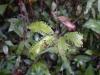 09-kutai-leafs