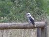07-toorongo-falls-kookaburra