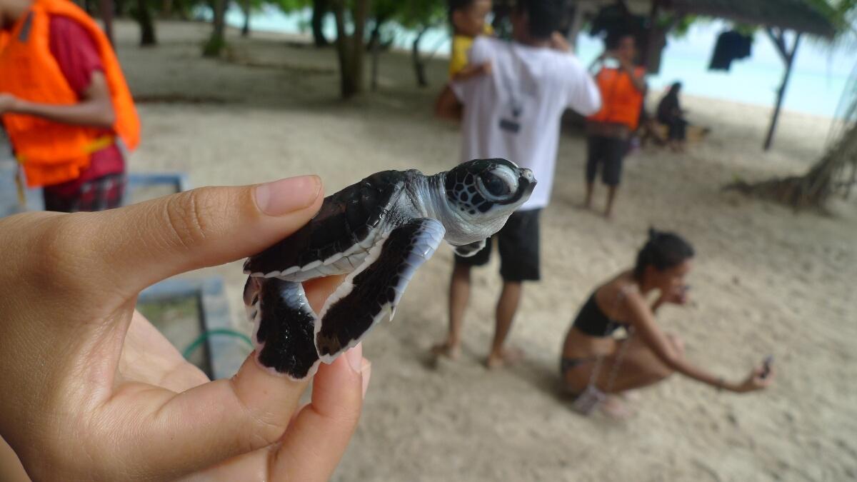 05-sangalaki-baby-turtle