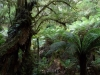 05-tarra-bulga-rainforest-myrtle-beech