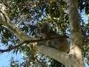 02-koala