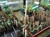 04-lots-of-watermelon-seedlings
