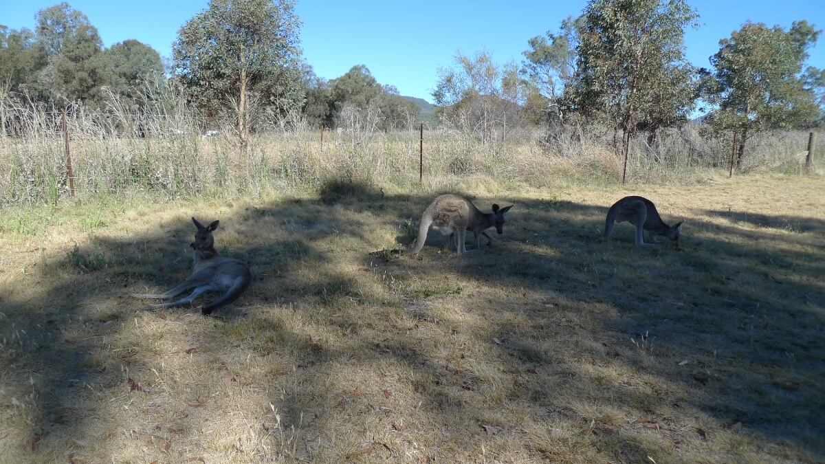 01-kangaros-at-camp-blackman