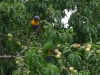 02-rosellas-eating-apricots