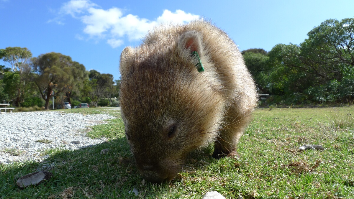 Wilsons Prom Revisited Home Of The Wombats Eat Code See