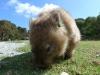 01-wilsons-promontory-wombat