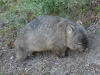 02-wilsons-promontory-wombat