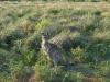 05-wilsons-promontory-kangaroo