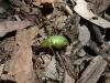 14-beetle