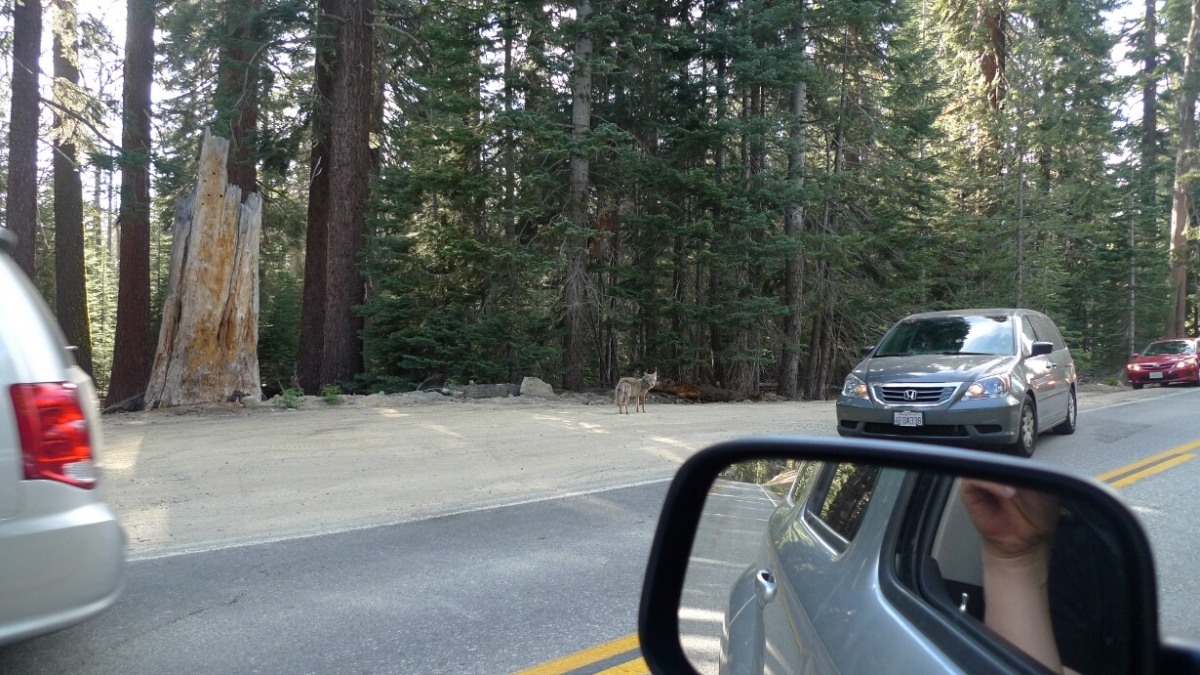01-sf-yosemite-sentinel-dome-coyote