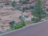 11-Zion_NP-Ibex