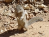 02-Zion_NP-Ground_squirrel